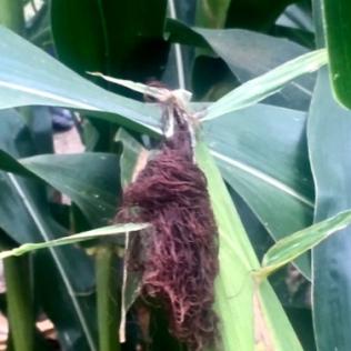 Corn tassel