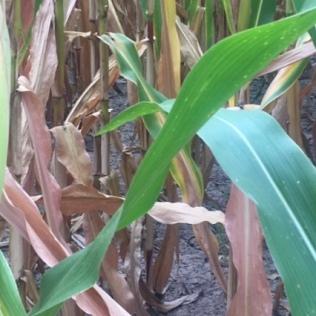 cornstalks