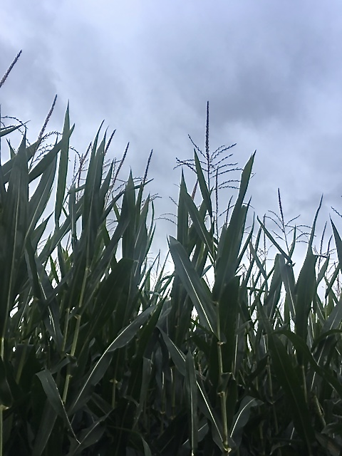 Corn stalks and clouds