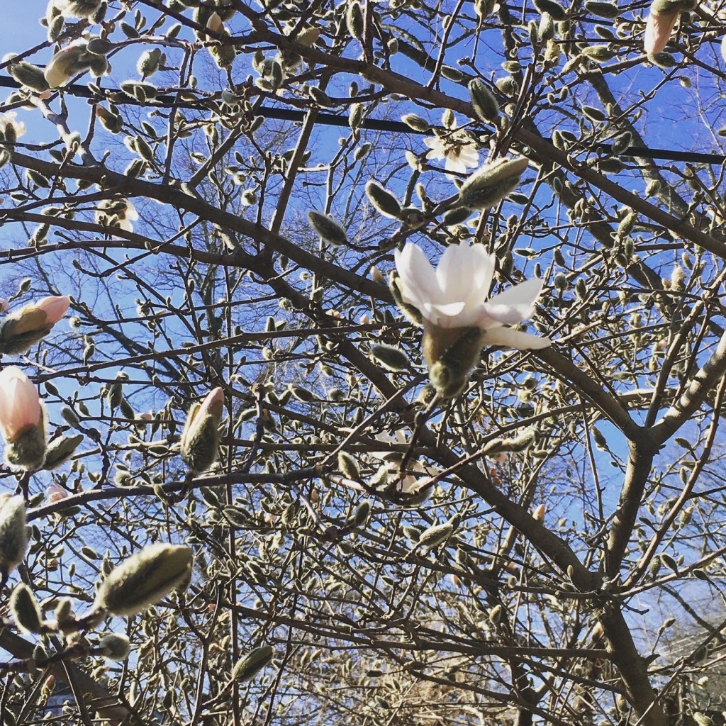 Magnolia blossoms and buds.